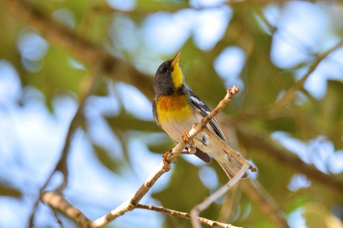 northern parula, warbler migration