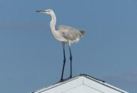Great Blue Heron x Great Egret Hybrid