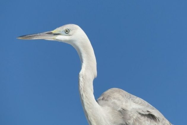 Great Blue Heron x Great Egret Hybrid
