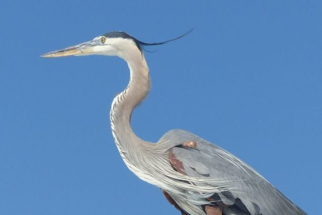 Great Blue Heron x Great Egret 4