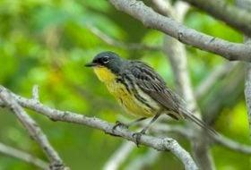 Kirtland's Warbler Migration Blitz