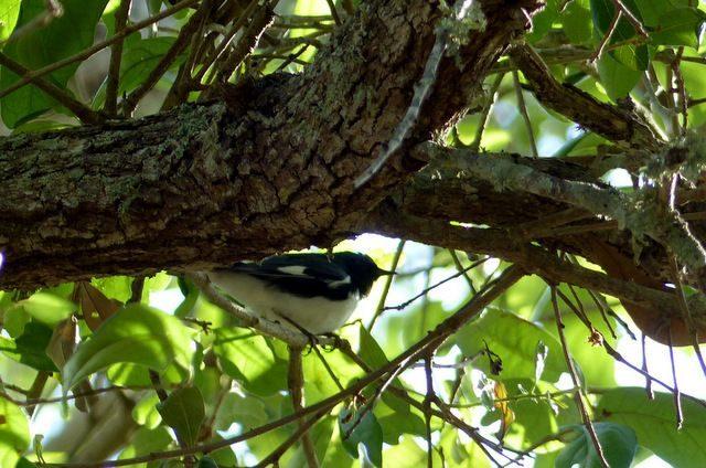 Warbler Migration Tips Black Throated Blue Warbler
