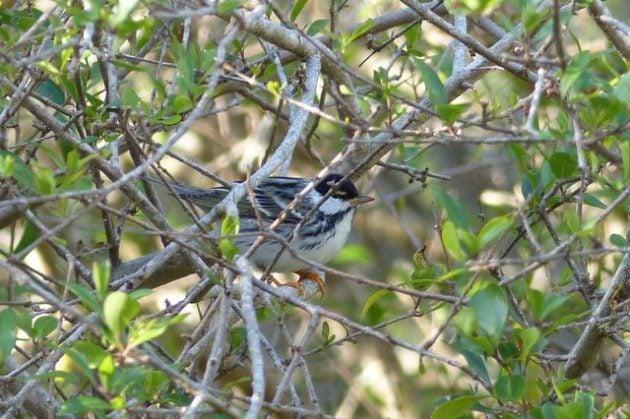 Warbler Migration Tips Blackpoll Warbler
