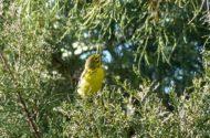 Warbler Migration Tips Prairie Warbler