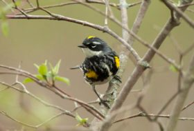 A Slow Weekend of Warblers at Magee Marsh