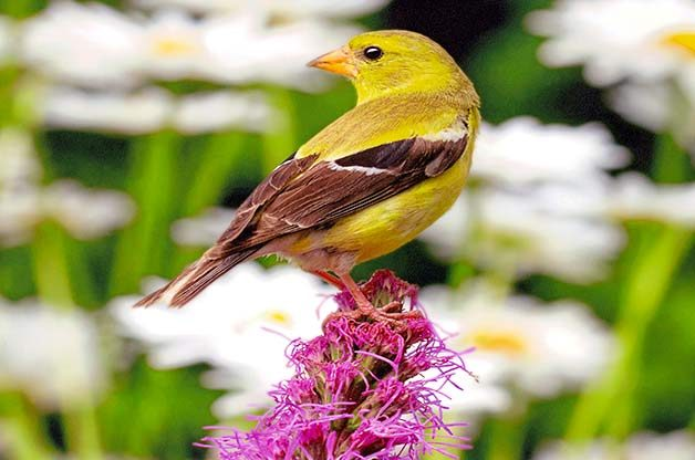 Boost your summer backyard space to attract even more eye-catching  goldfinches. - How To Attract More Goldfinches To Your Backyard - Birds And Blooms