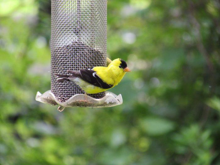 how to attract goldfinches