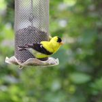 How to Attract More Goldfinches to Your Backyard