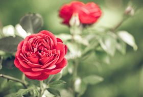 The Best Way to Grow Roses