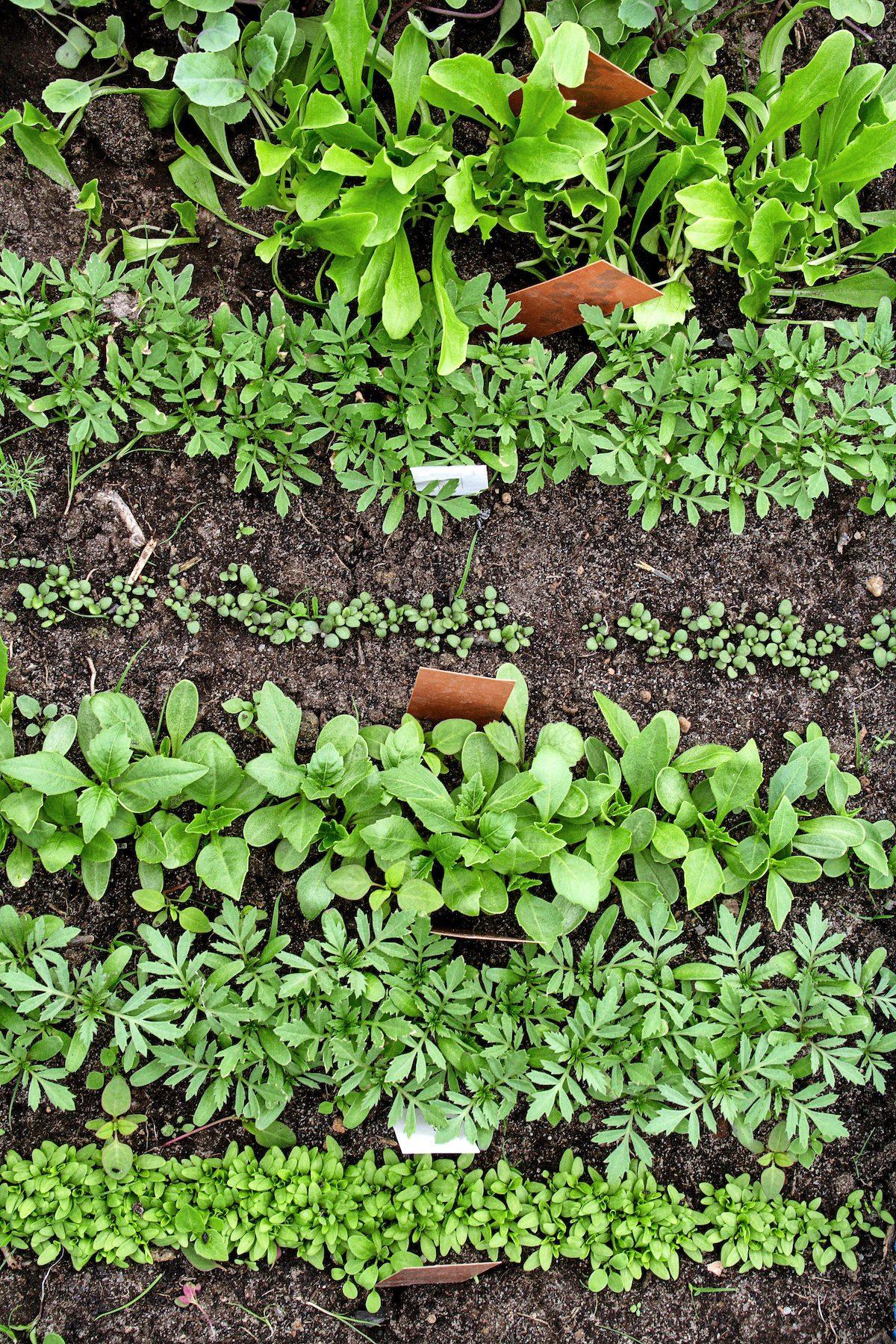 Different vegetable seedlings growing in rows