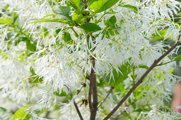Top 6 pink and white spring blooming trees birds and blooms white fringe tree mightylinksfo