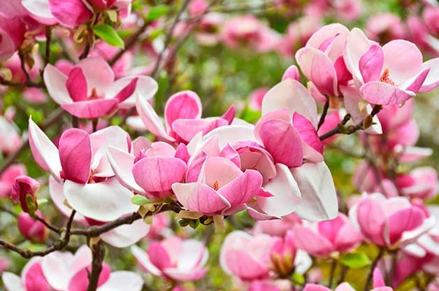 Top 6 pink and white spring blooming trees birds and blooms magnolia mightylinksfo