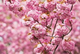 Top 6 Pink and White Spring-Blooming Trees