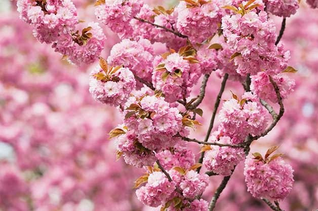 Top 6 Pink And White Spring Blooming Trees Birds And Blooms