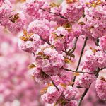 Top 6 Trees with Pink and White Flowers in Spring