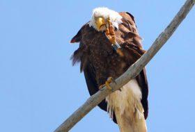 Caption This: Bald Eagle Salute