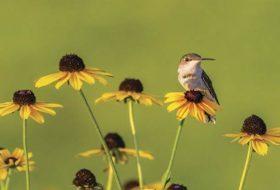 How to Start Hand-Feeding Hummingbirds