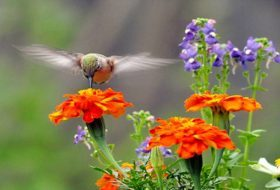 13 Jaw-Dropping Facts About Hummingbirds