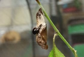 Butterfly Life Cycle: Chrysalis