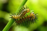 Butterfly Life Cycle Zebra LW Caterpillars