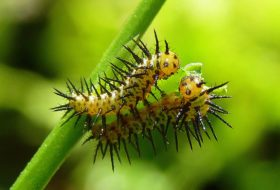 Butterfly Life Cycle: Caterpillars