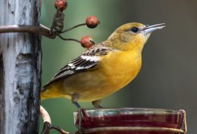 How to Attract Orioles and Tanagers with Jelly