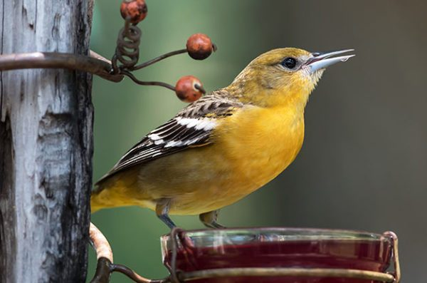 Beau How To Attract Orioles And Tanagers With Jelly