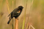 Backyard Red-winged Blackbirds