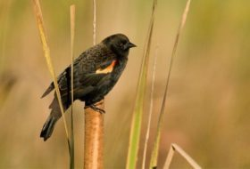 Backyard Red-winged Blackbirds