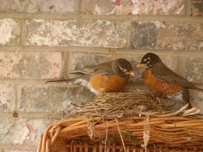 Robins care for their nest