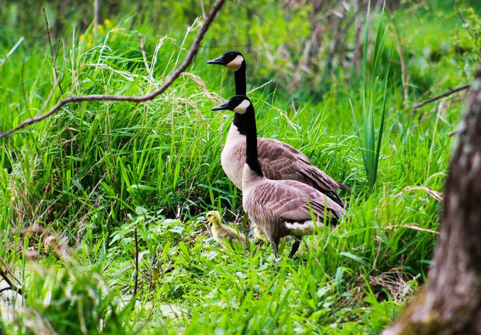 Canada goose mom and dad with chick