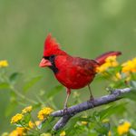6 Proven Ways to Attract Cardinals