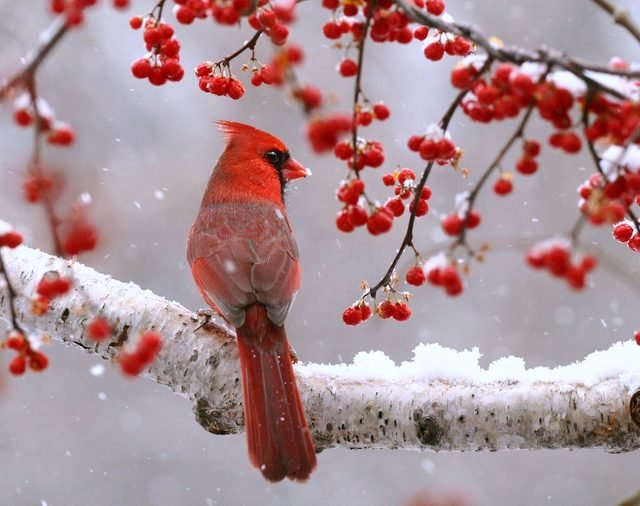 Cardinal on a snowy branch surrounded by red berries