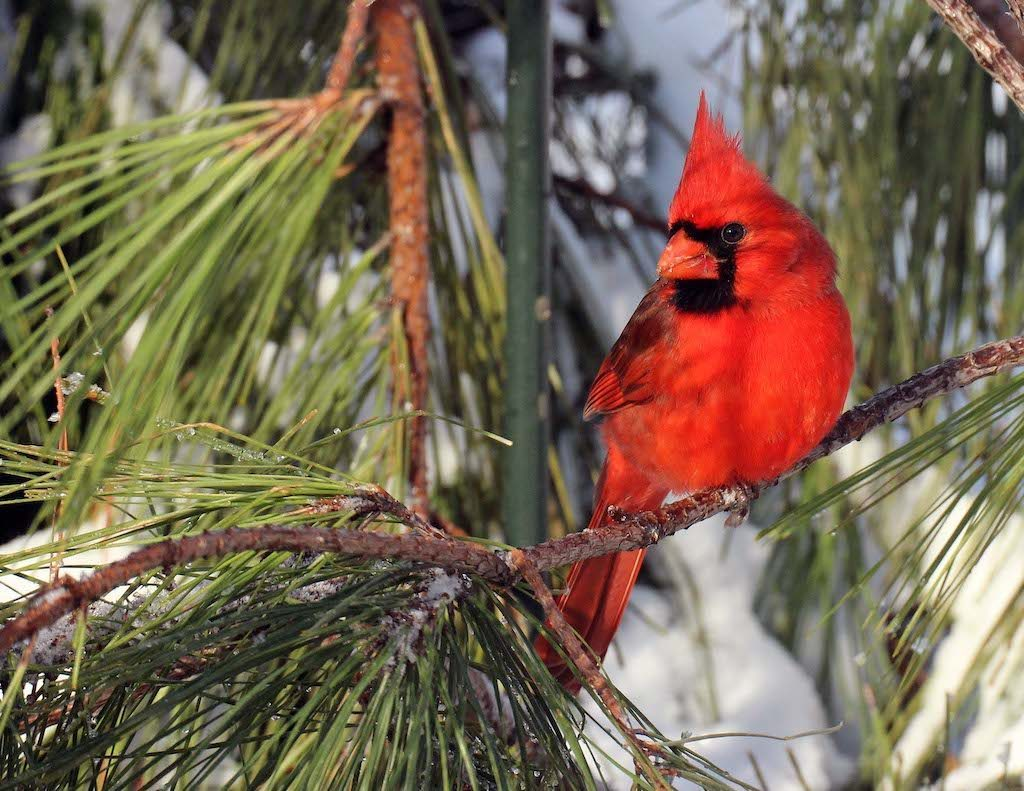 Cardinals seek cover in evergreen trees