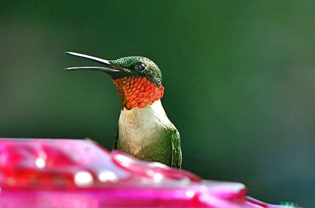 hummingbirds facts