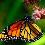 Grow Milkweed for Monarch Butterflies in 5 Simple Steps