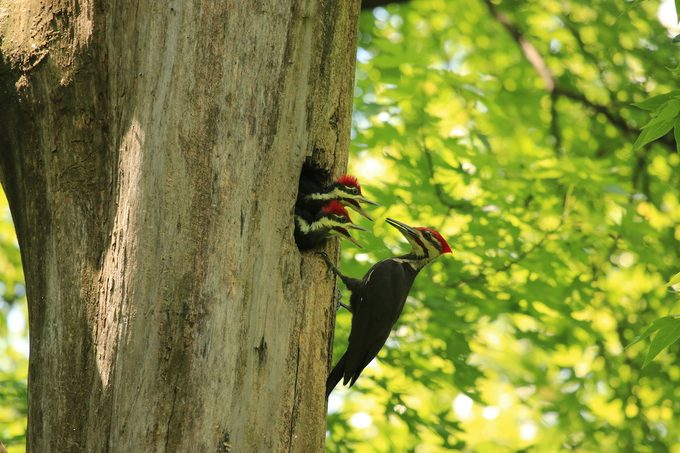Pileated woodpecker dad and chicks
