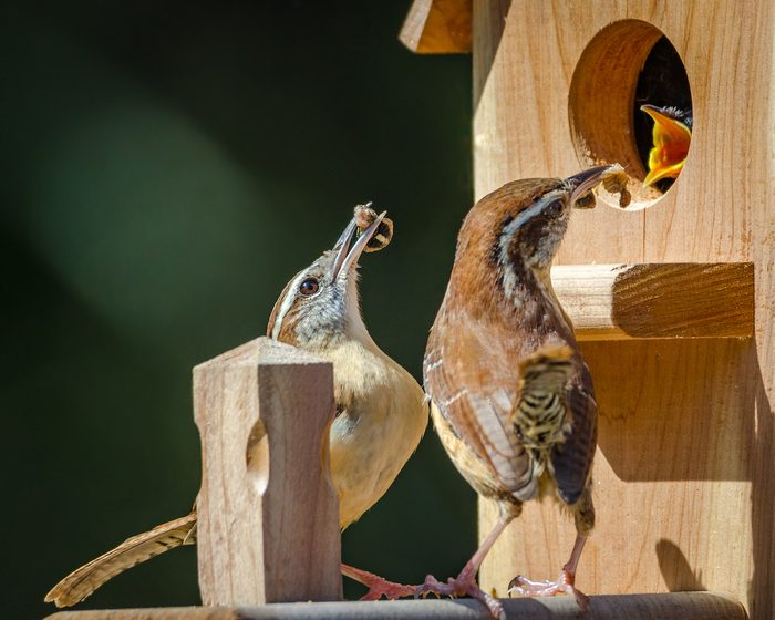 Wrens feed a chick in a nest box