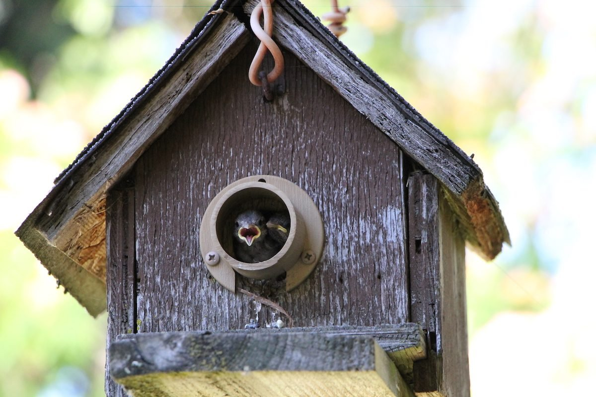 house sparrows in a birdhouse