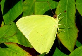 Cloudless Sulphur Butterflies