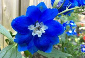 Growing Delphiniums in the Flower Garden