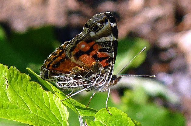 Migratory Butterflies Painted Lady