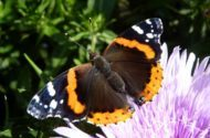 Migratory Butterflies Red Admiral