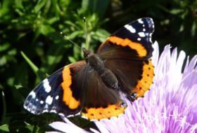 Migratory Butterflies (That Aren't Monarchs)