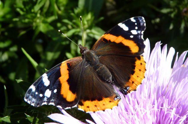 Migratory Butterflies Red Admiral