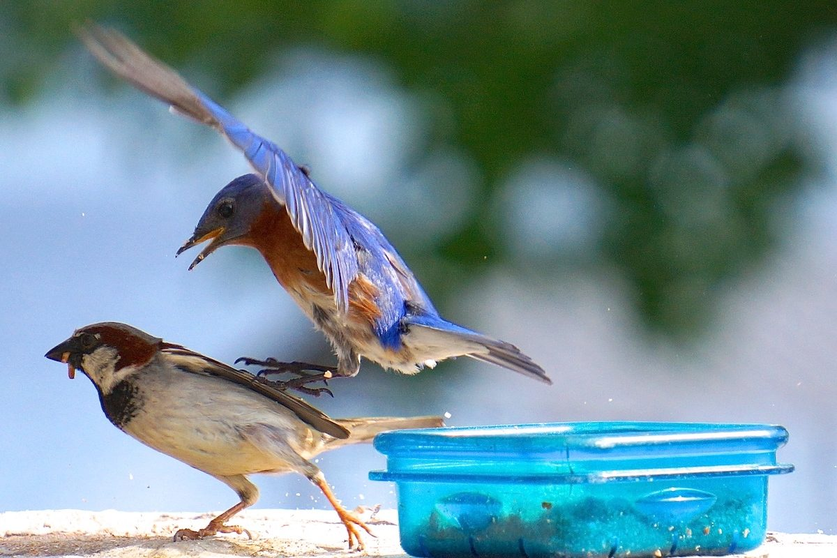 Eastern bluebird chasing a house sparrow