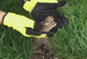 Watch For Rabbit Nests in Your Lawn