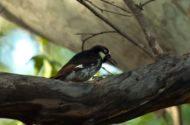 Bird Species Profile: Acorn Woodpecker