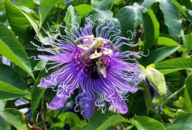 Maypop Passion Vine For Butterflies