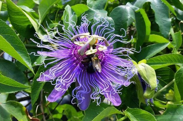 Maypop passion vine for butterflies host plants fast growing vines maypop passion vine mightylinksfo